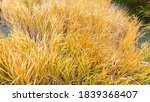 Yellowed Cattail Or Reed On Th...