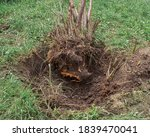 Uprooted Tree. Axed Tree Roots...