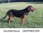 Tyrolean Hound After Hunting On ...