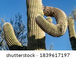 A Saguaro Cactus That Appears...