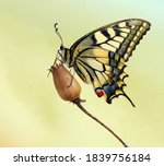 Wonderful Butterfly Papilio...