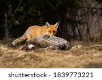 Hungry Red Fox  Vulpes Vulpes ...