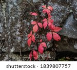 Red Vine Leaves Against A Rock...