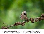 Grosbeak Coccothraustes On A...