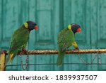 The Lorikeet Is A Type Of...