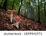 Fly Agaric Mushroom   Amanita...