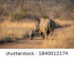 Female White Rhino And Her Cute ...