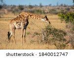 Adult Female Giraffe Eating...