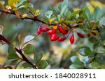 The Fruit Of Barberry In The...
