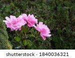 Three Beautiful Pink Rose...