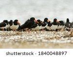South Island Oystercatcher  ...