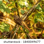 A Song Sparrow Perched On A...