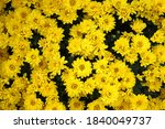 Yellow Chrysanthemums Flower...