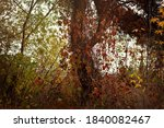 Autumn Tree Entwined With...
