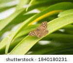 Small Brown Butterfly Basking...