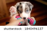 Border Collie Puppy With Blue...