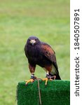 Small photo of A close up portrait of a harris's hawk parched on a falconry prop during a falconry birdshow. The bird, also known as a desert or dusky hawk is looking around and has a wire around its paw.