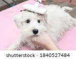Small photo of A shaggy white puppy slicker brush. First puppy grooming