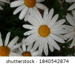 A Daisy With Its White Petals...