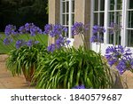 Blue Agapanthus Flowers In...