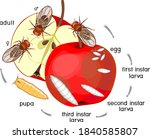 life cycle of fruit fly ... | Shutterstock .eps vector #1840585807