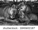 Wild Lion Family Okavongo Delta ...