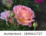Pink Roses In The Garden Of...