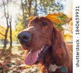 Autumn Portrait Of Irish Setter