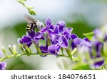 Small photo of White-Banded Digger Bee (Amegilla quadrifasciata), is a species of bees eating nectar on blue flower taken in Thailand