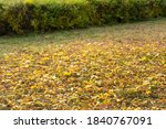 Autumn Leaves On The Lawn....