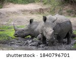 Small photo of white rhino having a mud wallow