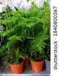 Araucaria Plant On Flowerpot...