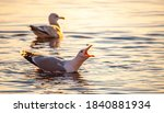 Herring Gull Shouting During...