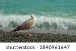A Young Seagull Stands On The...