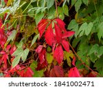 Bright Red Leaves Of Wild...