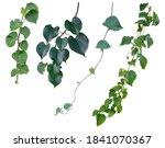 Vine Plant  Ivy Leaves...