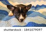 Ten Week Old Corgi Puppy On A...