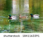 Group Of Mallard Ducks Swimmin...