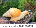 Giant African Snail Achatina...