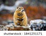 Cute Arctic Ground Squirrel...