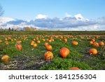 Pumpkin Field In A Country Sid...