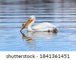 American White Pelican   An...