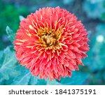 Beautiful Orange Chrysanthemum...