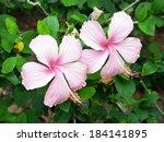 A Beautiful Pink Hibiscus