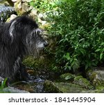 Long Haired Lurcher In A...