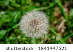 Dandelion White With Seeds....