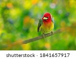 Forest Bird. Red Headed Barbet  ...