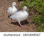 Pair Of Ross's Geese Walking...