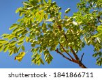 Close Up Soapberry Tree And...