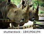 Rhinoceros Grazing In The Zoo ...